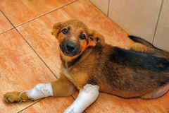 Puppy with a broken paw Royalty Free Stock Photography