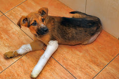 Puppy with a broken paw Royalty Free Stock Images