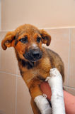 Puppy with a broken paw Stock Images