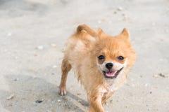 Puppy brown pomeranian running on beach. Puppy brown pomeranian running on the beach stock images