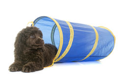Puppy brown poodle in agility Stock Photography