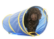 Puppy brown poodle in agility Stock Photo