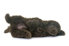 Puppy brown poodle stock photography