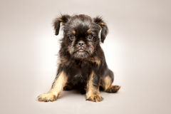 Puppy  Brussels Griffin Royalty Free Stock Photo