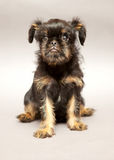 Puppy  Brussels Griffin Royalty Free Stock Images