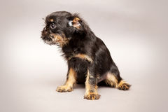 Puppy  Brussels Griffon Royalty Free Stock Image