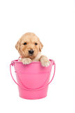 Puppy in bucket Stock Photos