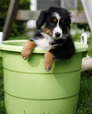 Puppy in bucket. Puppy is standing in a green bucket and watching outside royalty free stock photo
