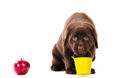Puppy with bucket and apple on white Stock Image