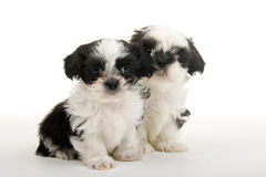 Puppy Buddies For Life Stock Images