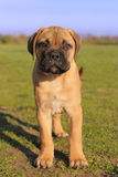 Puppy Bull Mastiff Royalty Free Stock Images