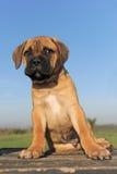 Puppy Bull Mastiff Stock Image