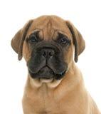 Puppy bull mastiff Stock Photography