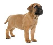 Puppy bull mastiff Stock Photo