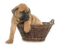 Puppy bull mastiff Royalty Free Stock Photography