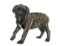 Puppy bull mastiff Stock Photos