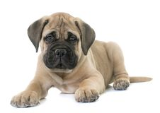 Puppy bull mastiff. In front of white background Royalty Free Stock Image