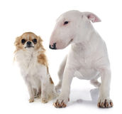 Puppy bull terrier and chihuahua Royalty Free Stock Image
