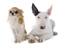 Puppy bull terrier and chihuahua Royalty Free Stock Photos