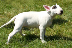 Puppy bull terrier Royalty Free Stock Photos
