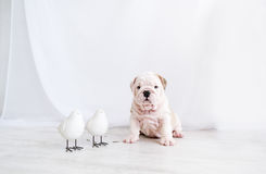 The puppy of a bulldog and two little birdies sit on a floor in the white room Stock Photo