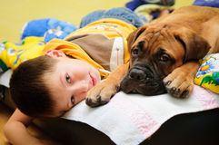 Puppy bullmastiff with boy. Little puppy bullmastiff played with boy in the house royalty free stock image