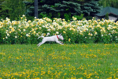 Puppy bullterrier runs on a grass Royalty Free Stock Photo