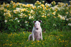 Puppy bullterrier sits on a grass Royalty Free Stock Photo