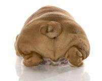 Puppy buttocks. English bulldog puppy from the rear end with reflection on white background royalty free stock images