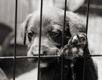 Puppy in a cage. Sad little puppy with his paws up leaning against the bars of his cage. Black and white image royalty free stock photo