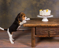 Puppy with cake. Seven weeks old cute little beagle puppy watching a delicious frosted cake royalty free stock images
