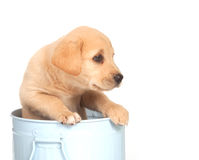 Puppy in a can Stock Photography