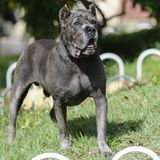 Puppy Cane Corso adult dog. Dog of the Cane Corso race of adult age in haughty pose Royalty Free Stock Images