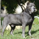 Puppy Cane Corso adult dog. Dog of the Cane Corso race of adult age in haughty pose Stock Image