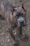 Puppy Cane Corso Stock Image