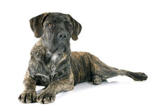 Puppy cane corso Stock Images