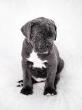 Puppy Cane Corso gray color on the background Royalty Free Stock Image