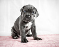 Puppy Cane Corso gray color on the background Royalty Free Stock Photos