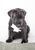 Puppy Cane Corso gray color on the background Royalty Free Stock Photo