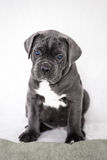 Puppy Cane Corso gray color on the background Stock Images