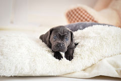 Puppy Cane Corso lies on a bed stock image