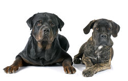 Puppy cane corso and rottweiler Royalty Free Stock Photos