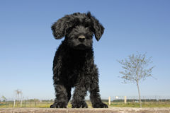 Puppy cao de agua. Puppy purebred cao de agua or portuguese water dog upright on a table Royalty Free Stock Images