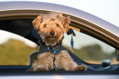 Puppy in Car Royalty Free Stock Photography