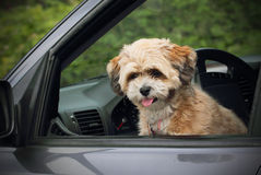Puppy in a car window.. A cute brown fluffy puppy looking out of the car window wanting out. Shallow depth of field Royalty Free Stock Photo