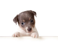 Puppy card Royalty Free Stock Images