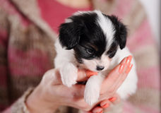 Puppy in the caring hands Stock Images