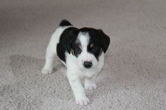 Puppy on carpet. Black and white puppy walking on carpet stock images