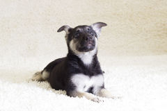 Puppy on a carpet Royalty Free Stock Photos