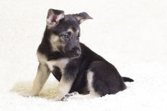 Puppy on carpet Royalty Free Stock Images